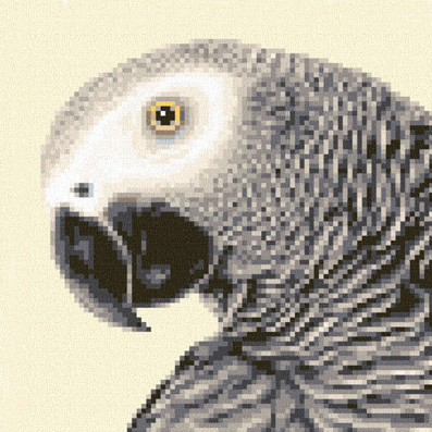 AGP 01 African Grey Parrot sq