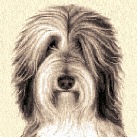 a sq BDC4 Bearded Collie